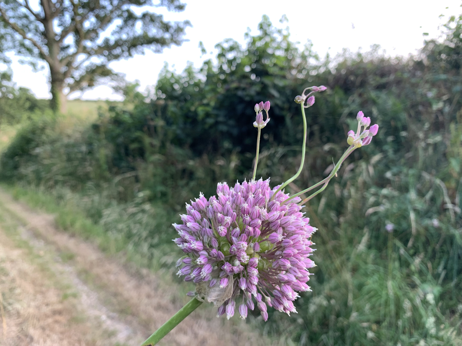 Alliums in the hedgerows at Penpoll