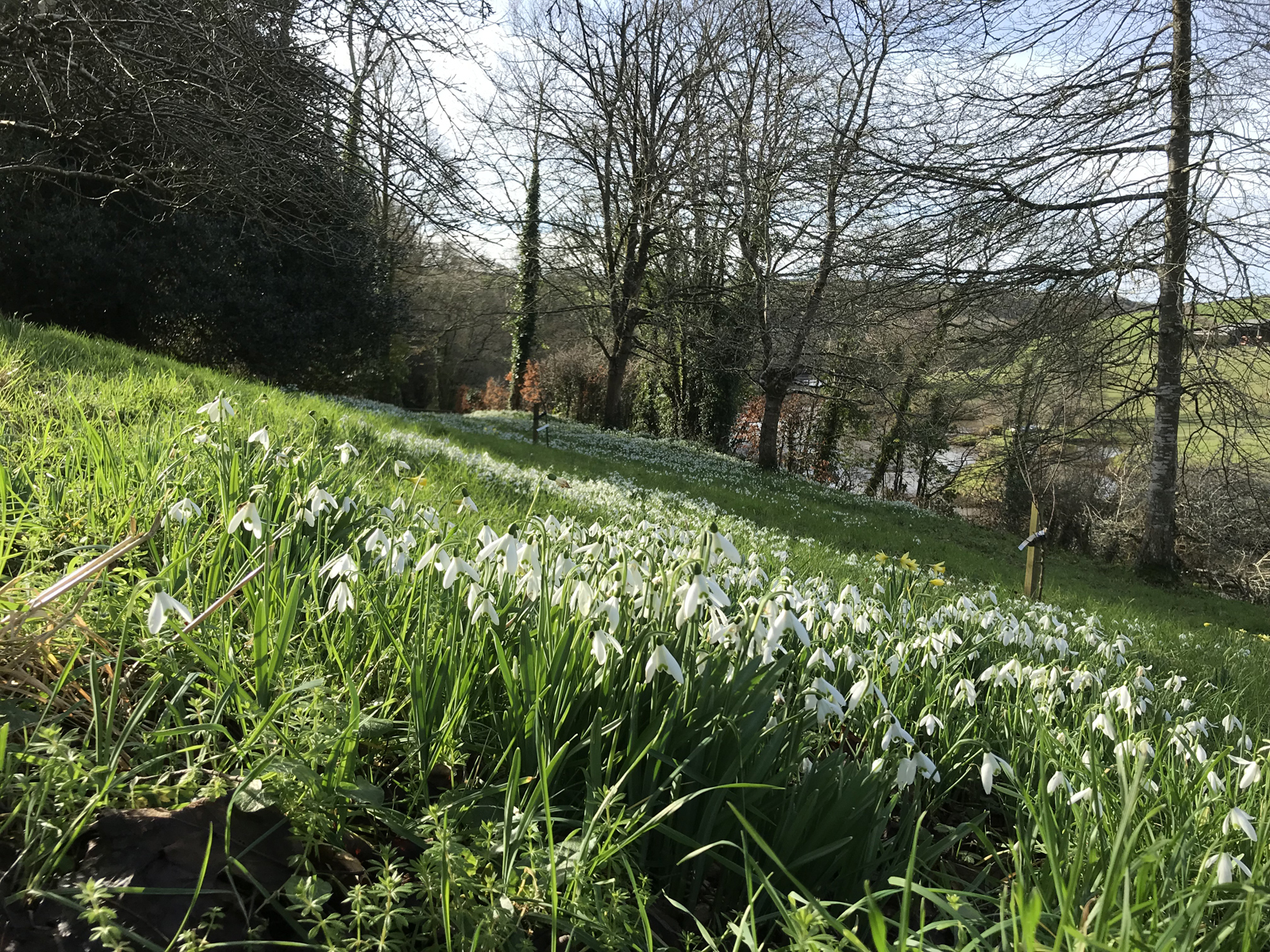 Snowdrops at Penpoll