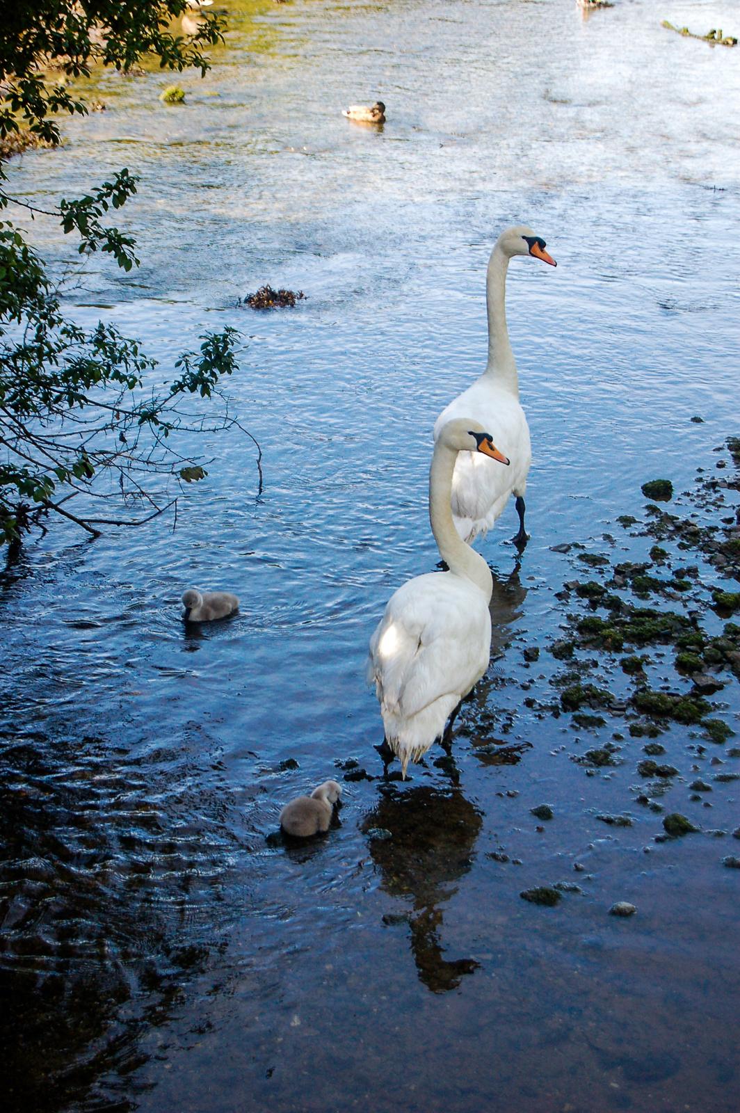 Swans & Signets